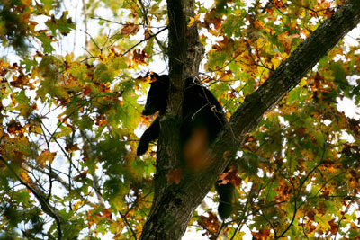 Black bear in tree in Cades Cove, Great Smoky Mountains National Park