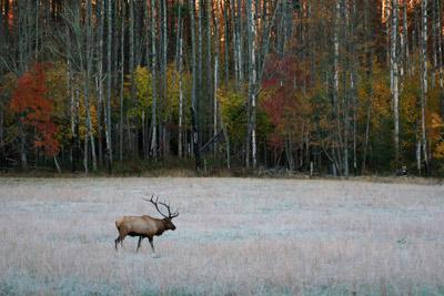 Bull elk Cataloochee Valley North Carolina