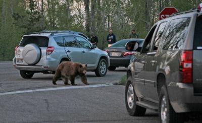 Grand-Teton-black-bear-1