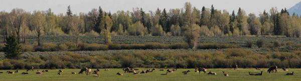 Elk herd in Grand Teton National Park in June