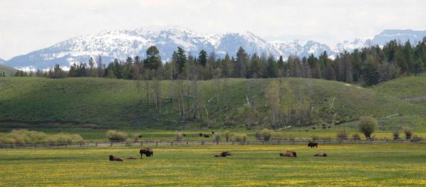 Grand-Tetons-bison