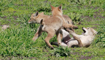Coyote puppies Grand Teton National Park in June