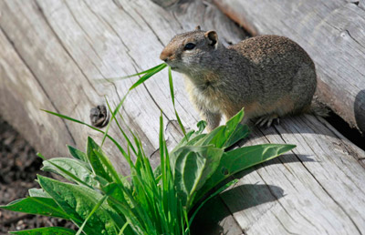 Grand Teton National Park animal eating grass