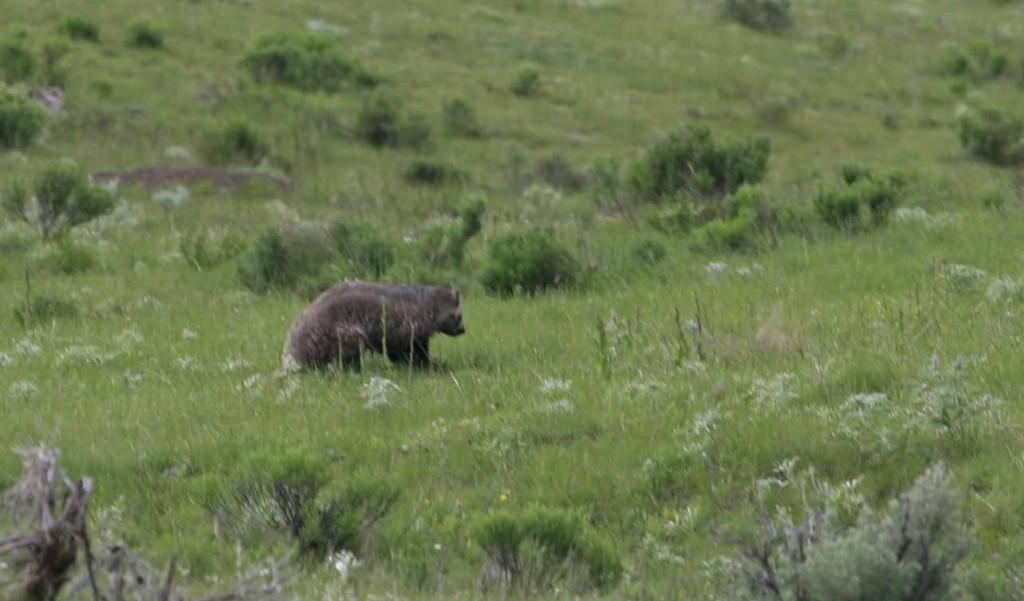 Yellowstone badger 2