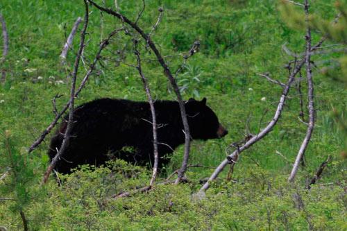 Yellowstone National Park wild black bear