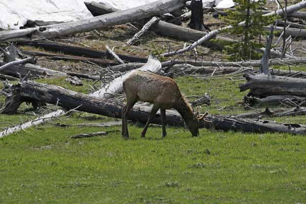 Yellowstone elk velvet antlers