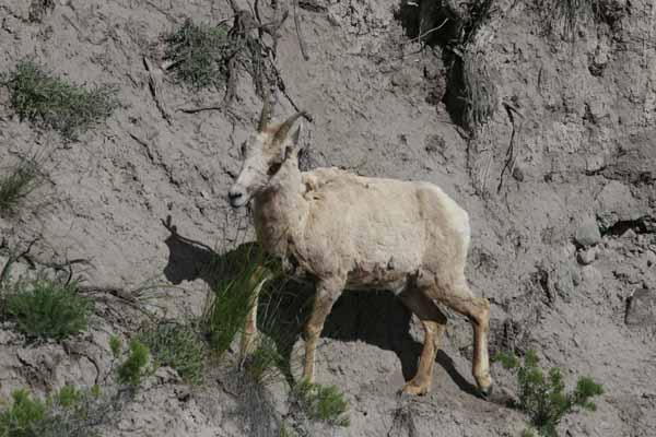 Yellowstone mountain sheep