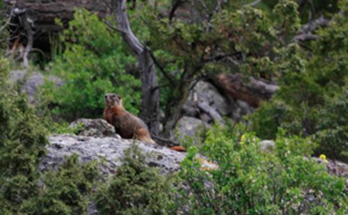 Yellowstone yellowbellied marmot