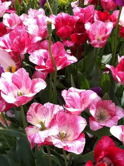 Garden-3-tulips