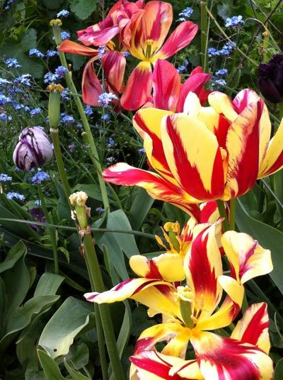 Garden-4-tulips